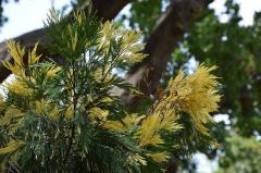 Jardin du Plateau des Poètes - Cercidiphyllum japonicum au Plateau des poètes