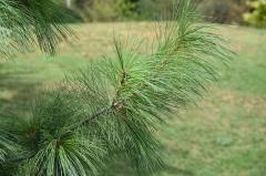 Jardin du Plateau des Poètes - Pinus griffithii au Plateau des poètes