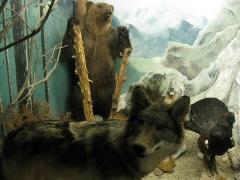Museum - Català: Museu d'Història Natural de Perpinyà, antic palau Sagarriga, diorama dels animals pirinencs: ós bru (Ursus arctos), llop (Canis lupus) i gall fer (Tetrao urogallus)