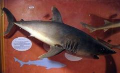 Museum - Català: Museu d'Història Natural de Perpinyà, antic palau Sagarriga, marraix (Lamna nasus)