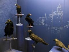 Museum - Català: Museu d'Història Natural de Perpinyà, antic palau Sagarriga, vitrina dels còrvids