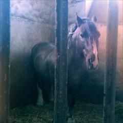Haras national - English: Breton stallion, Haras de Lamballe, France