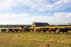 Hangar à dirigeables - English:  A herd of heifers walks across a field before the airships hangar in Écausseville (Manche, France).