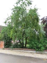 Eglise - English: Mirabelle prune tree near the town hall of Mesnil-Saint-Père (Aube, France).