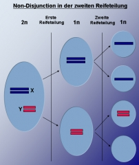 Eglise -  This diagram shows the chromosomal nondisjunction in the father that can result in XYY syndrome in his son.  The two X chromosomes separate correctly (one per sperm cell), but the shorter Y chromosomes do not separate, which results in one cell with two chromosomes, and one cell with zero chromosomes.  The sperm cells containing one X chromosome would produce healthy daughters.  The sperm cell containing two Y chromosomes would produce a son with XYY syndrome.  The sperm cell with no sex chromosome might produce a daughter with Turner syndrome (monosomy X).