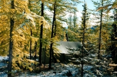 Croix dite de la Périère - English: Larix sibirica in autumn colour (yellow) and Picea obovata (dark green, middle-right) with dusting of fresh snow. In the Ural Mountains, Russia.