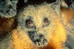 Château d'Ennery - English: Fruit bats (flying foxes) carry antibodies to a range of emerging diseases such as Hendra virus, Menangle virus and Nipah virus. They are believed to be the natural host of the viruses.