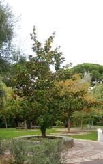 Villa Arson, Ecole nationale supérieure d'art et Centre national d'art contemporain -  Magnolia grandiflora - Villa Arson