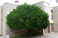 Villa Arson, Ecole nationale supérieure d'art et Centre national d'art contemporain -  Oranger à la Villa Arson