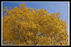 Hôtel de Montfaucon - English: Autumn Yellow of Canberra