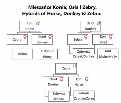 Sous-préfecture - English: Diagram of Hybrids of Horse, Donkey & Zebra.