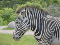 Sous-préfecture - English: Grevy's Zebra