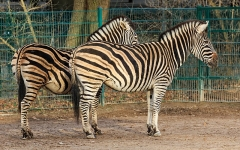 Sous-préfecture - English: A Chapman's zebra in the Berlin Tierpark (Friedrichsfelde zoo)