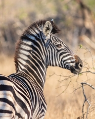 Sous-préfecture - English: Burchell's zebra (Equus quagga burchellii), Kruger National Park, South Africa