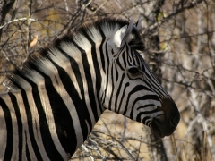 Sous-préfecture - English: Closeup of a Damara Zebra close to Kalkheuwel waterhole, Etosha, Namibia.