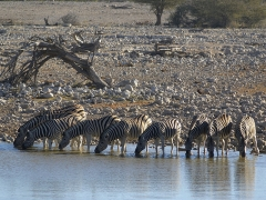 Sous-préfecture - English: Group of Damara Zebras at the waterhole of Okaukuejo, Etosha, Namibia.