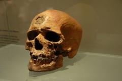 Abri de Cro-Magnon - Français:   Crâne - collection du Musée de Préhistoire des gorges du Verdon (Quinson)