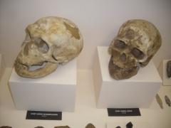 Abri de Cro-Magnon - Português: Crânios de Homo sapiens neanderthalensis e de Homo sapiens sapiens, acervo do Museu de Arqueologia e Etnologia da Universidade de São Paulo. Fotografia de Eliel Bragatti e Renata Martins Rocha, postadas na galeria do LiGEA USP.