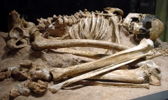 Abri du Cap-Blanc à Laussel - English: skeleton of an early modern human from the Magdalenian period, discovered in the Cap Blanc rock shelter (France)