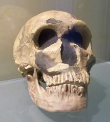 Gisement préhistorique de la Ferrassie - Français:   crane d\'un homme de Néandertal, au musée de la préhistoire de Quinson (04), France