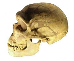 Gisement préhistorique de la Ferrassie - English: Removed white background from File:Ferrassie_skull.jpg.
