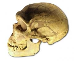 Gisement préhistorique de la Ferrassie -  moulage du crâne d' Homo neanderthalensis de La Ferrassie, vitrine du Musée de l'Homme, Paris