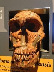 Gisement préhistorique de la Ferrassie -  La Ferrassie, Homo neanderthalensis at CAS.