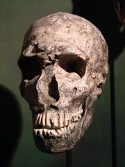 Gisement préhistorique de la Ferrassie -  Muséum d'Anthropologie, campus universitaire d'Irchel, Université de Zurich (Suisse):   Homo neanderthalensis  (La Ferrassie, France)