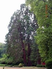 Château de Ravignan - Français:   Séquoïa de Californie dans le jardin du château de Ravignan à Perquie (Landes, France)