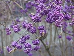 Palais Universitaire - English: Callicarpa bodinieri with its magenta berries near the Palais universitaire de Strasbourg (Bas-Rhin, France).