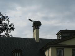 Parc de l'Orangerie - Cigogne blanche (ciconia ciconia) et ses petits dans un nid, parc de l'Orangerie, Strasbourg.
