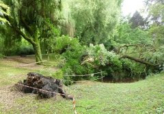 Jardin botanique - English: This Salix × chrysocoma Dode was about 120 years old and had been sick for quite a while. It was felled by violent winds in July 2014. Botanical garden of Strasbourg, France