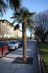 Ancien Musée National des Arts Africains et Océaniens, devenu Cité nationale de l'histoire de l'Immigration -  Trachycarpus fortunei