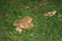 Domaine dit Désert de Retz - English: Mushrooms in the Désert de Retz park in Chambourcy, France