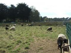 Alignement et dolmen de Kerlescan -  Sheep grazing in the fenced off Kerlescan alignment near Carnac Taken by me