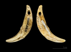 Grotte dite de l'Eléphant - English: Drilled tooth (Canis lupus) canine tooth used as a necklace - 2 Views of the same object Locality: Gourdan cave says