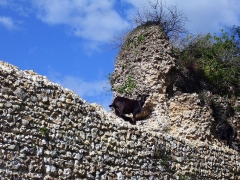 Ruines du château fort - English: A goat on a wall of the medieval castle of Montfort-sur-Risle (departement Eure, Haute-Normandie, France), which was built in 11th century.