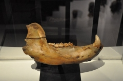 Muséum d'histoire naturelle - English: Cave bear jaw, France