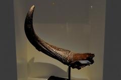 Muséum d'histoire naturelle - English: Horn of auroch