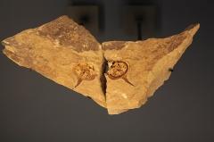 Hôtel de Fleury (Musée Dardé) - Fossile d'échinoderme.