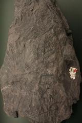 Hôtel de Fleury (Musée Dardé) - Fossile du carbonifère supérieur (- 307 000 000 à - 299 000 000 ans): fausses fougères.