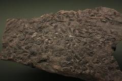 Hôtel de Fleury (Musée Dardé) - Fossile du carbonifère supérieur (- 307 000 000 à - 299 000 000 ans): graines.
