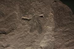 Hôtel de Fleury (Musée Dardé) - Fossile du carbonifère supérieur (- 307 000 000 à - 299 000 000 ans): insecte.