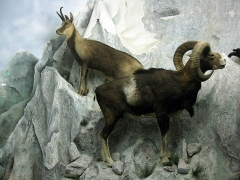 Museum - Català: Museu d'Història Natural de Perpinyà, antic palau Sagarriga, isard pirinenc (Rupicapra pyrenaica) i mufló (Ovis orientalis musimon)