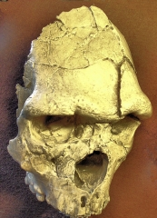 Grotte de la Caune de l'Arago - English: Fossil Arago XXI = Homo erectus from Tautavel, France (replica, Museum Tautavel)