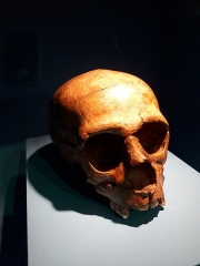 Gisement paléolithique dénommé Gisement de la Quina - Français:   Crâne de l\'enfant de La Quina dit \