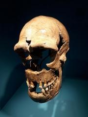 Gisement paléolithique dénommé Gisement de la Quina - Français:   Crâne, maxillaire et mandibule de l\'individu de La Quina dit \
