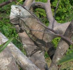 Fort Napoléon -  Iguana iguana au Fort Napoléon en Guadeloupe, îlet Terre de haut-de-haut l'archipel Saintes