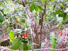 Habitation caféière La Grivelière - English: Coffee field at La Grivelière, Vieux-Habitants, Guadeloupe