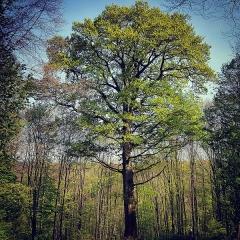 Restes de l'abbaye de Villers-Bettnach -  Âgé de 230 ans environ, ce chêne a été ainsi nommé en souvenir des moines qui ont habités jusqu'à la Révolution l'abbaye de Villers-Bettnach